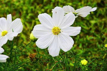 witte bloem von Gerrit Neuteboom