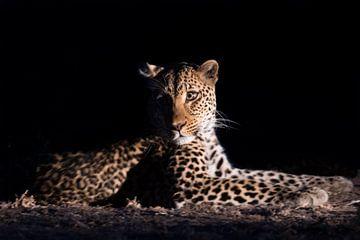 Leopard in der Nacht von Felix Sedney