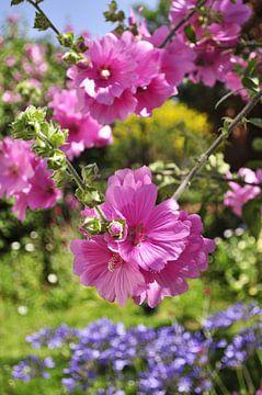 Lavatera bloemen van