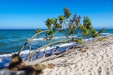 Tree on the Baltic Sea coast sur
