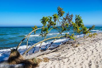 Tree on the Baltic Sea coast von Rico Ködder