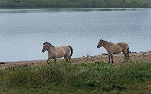 Wilde paarden -Utrechtse heuvelrug 05