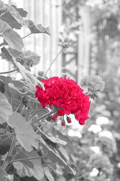 rode bloem van marijke servaes