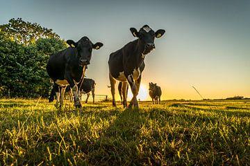 Koeien in de avondzon van piet douma