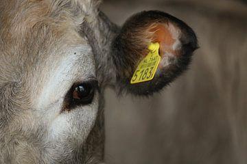 Vache sur Anouk van der Linden