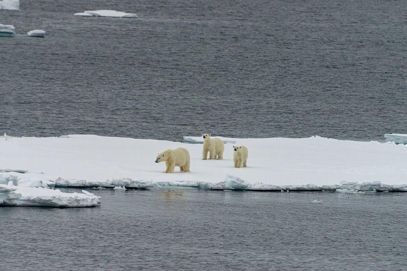 Eisbär von Merijn Loch