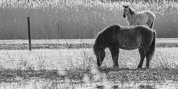Konik-Pferd von Marcel Pietersen