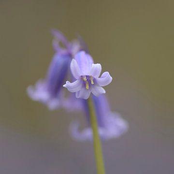 Blauwe hyacinten van
