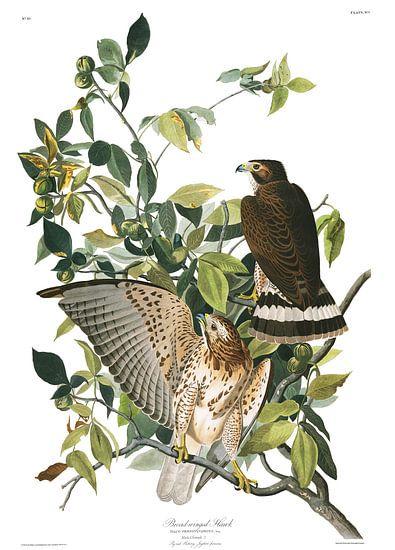 Kleine Düse von Birds of America
