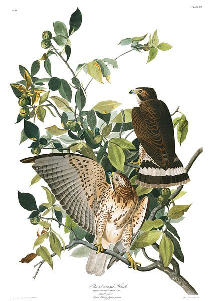 Breedvleugelbuizerd van Birds of America