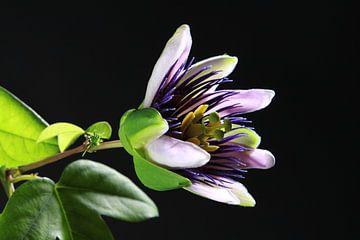 Blühende Passionsblume von Karina Baumgart