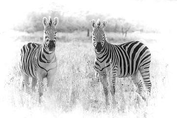 Zebra's kijkend naar de camera. van Gunter Nuyts