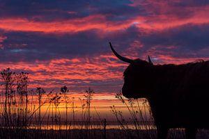 Schotse Hooglander bij zonsopkomst