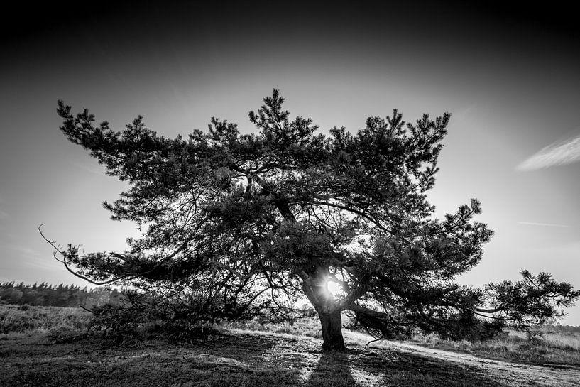 Lonely Pine van Alejandro Quezada