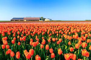 De tulpen boerderij