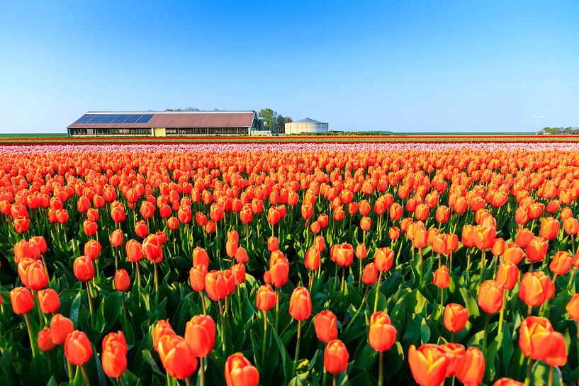 De tulpen boerderij van Dennis van de Water