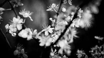 Kirschblüte von Liv Jongman
