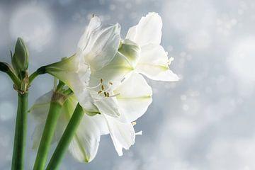 Witte amaryllisbloemen (Hippeastrum) tegen een besneeuwde winterse achtergrond, mooie bloemengroetka van Maren Winter