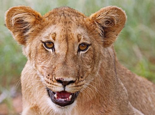 Young lion in Africa