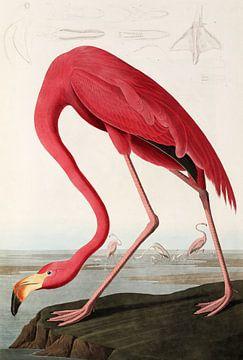 American Flamingo - Teylers Edition - Birds of America, John James Audubon (zonder witrand) van Teylers Museum