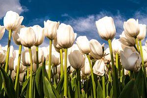 Witte Tulpen tegen een Blauwe lucht
