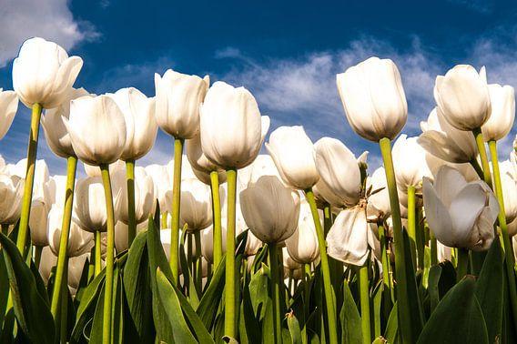 Witte Tulpen tegen een Blauwe lucht van Brian Morgan