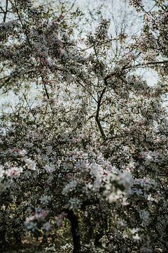 Witte bloesem in de Hollands lente | Nederland van Trix Leeflang