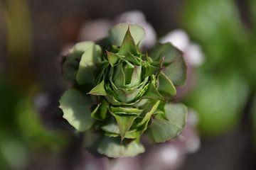 Blühende Pflanze von Ineke Wildeboer