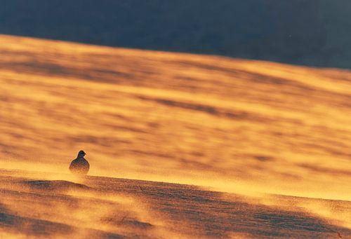 Alpensneeuwhoen zittend op een sneeuwvlakte van AGAMI Photo Agency