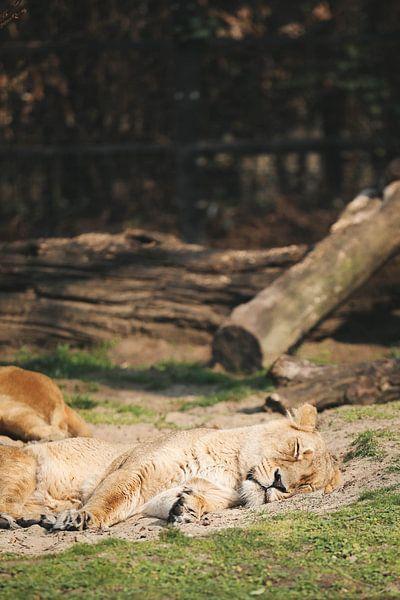 Slapende leeuw van Leen Van de Sande