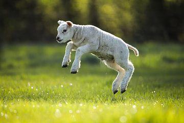 Springendes Lamm von Isabel van Veen
