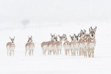 Pronghorns ( Antilocapra americana ) in winter van wunderbare Erde