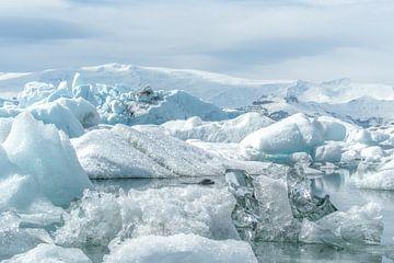 Zeehond zwemmend tussen ijsbergen en ijschotsen in IJsland