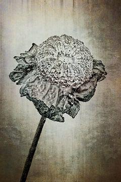 Malven - Malva von Christophe Fruyt