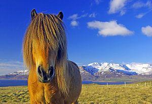Echte IJslanders dragen manen van Reinhard  Pantke
