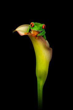 Rote-Augen-Frosch von Lia Hulsbeek Brinkman