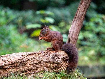 Eichhörnchen isst Nuss auf einem Baumstamm von Karin Schijf