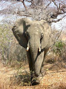 Afrikaanse Olifant op de Savanne