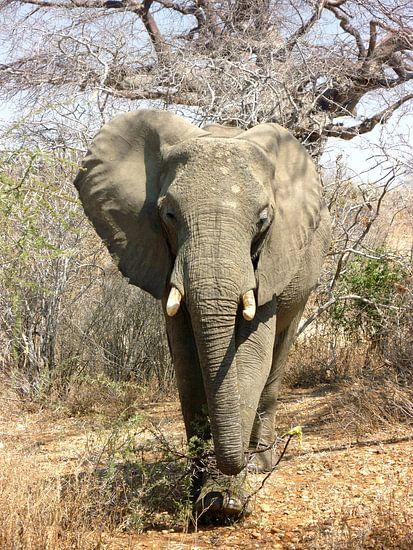 Afrikaanse Olifant op de Savanne van Zoe Vondenhoff