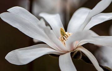 Magnolia stellata van Ingrid Aanen