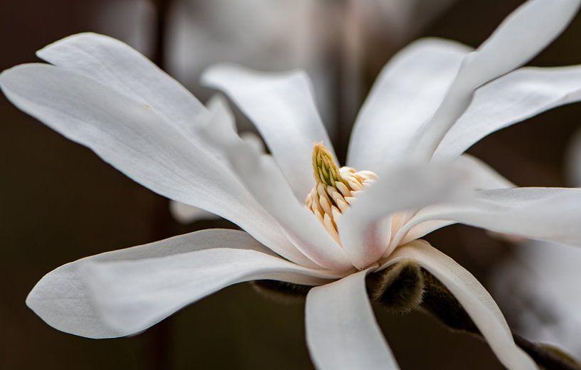 Magnolie stellata von Ingrid Aanen