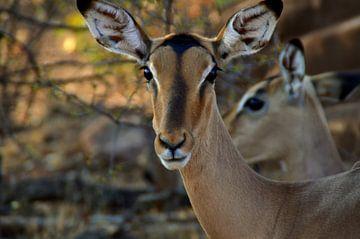 Close up van afrikaanse impala  van Vera Boels