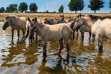 Konikpaarden staand in het water. van