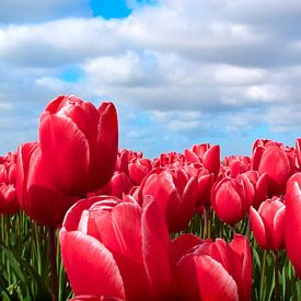 Tulpen van Hans Albers