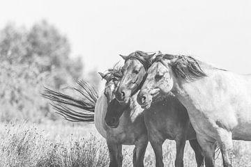 Drei konik-Freunde zusammen von Anne Zwagers