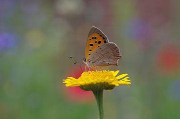 Nahaufnahme vom bunten Schmetterling auf gelber Blüte von Anja Uhlemeyer-Wrona