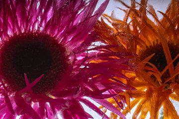 Chrysantheme in kristallklarem Eis von Marc Heiligenstein