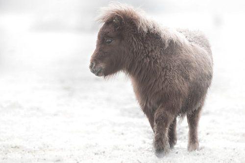 Shetlandveulen ( paard) in de sneeuw van