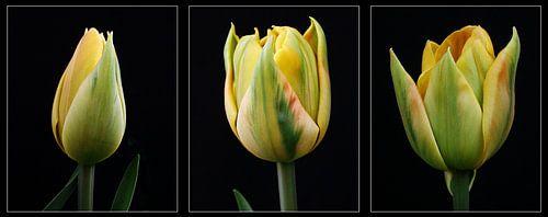 Tulpen - een drieluik