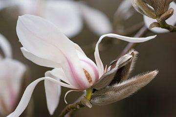 Magnolia bloem von André Scherpenberg